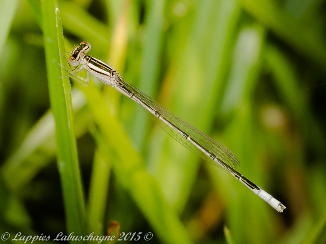 100 013 Africallagma glaucum Swamp Bluet Teneral Male Moreletta Nov 2015r 3