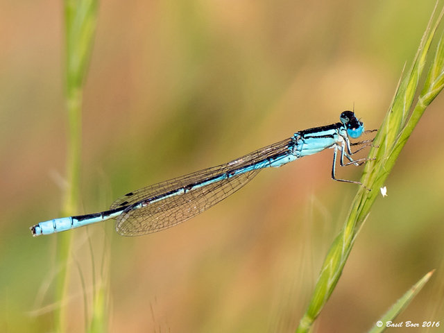 108 019 Africallagma glaucum Swamp Bluet Male Wolseley Western Cape 15 10 2016