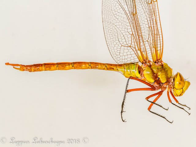100 1836 Anax speratus Orange Emperor Male Close up MP RSA Sep 2018r 2