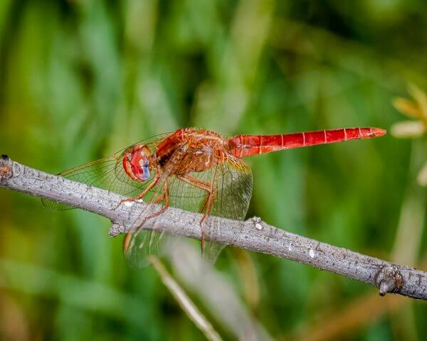 100 591 Crocothemis erythraea Broad Scarlet Male Oos Rand Febr 2016 R 2 of 6