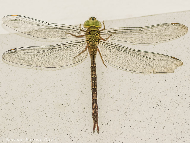 107 566 Brown Duskhawker Gynacantha villosa Female Lusaka Zambia July 2018r 4