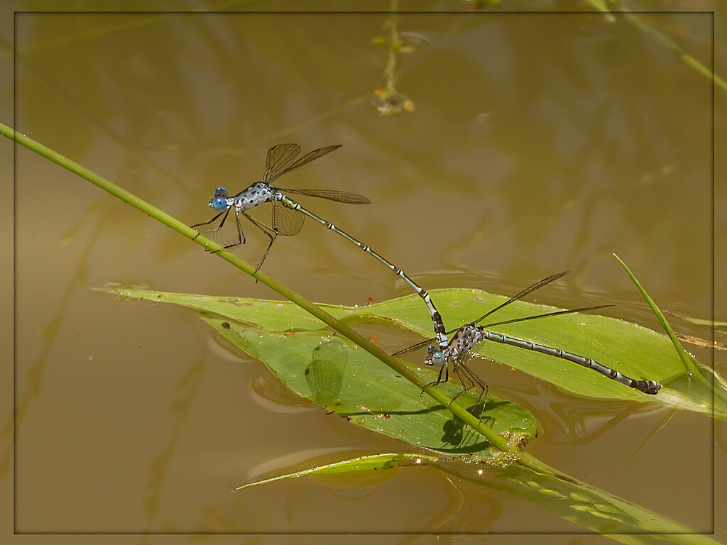 Lestes tridens Spotted Spreadwing Pair Tshipise LP February 2014