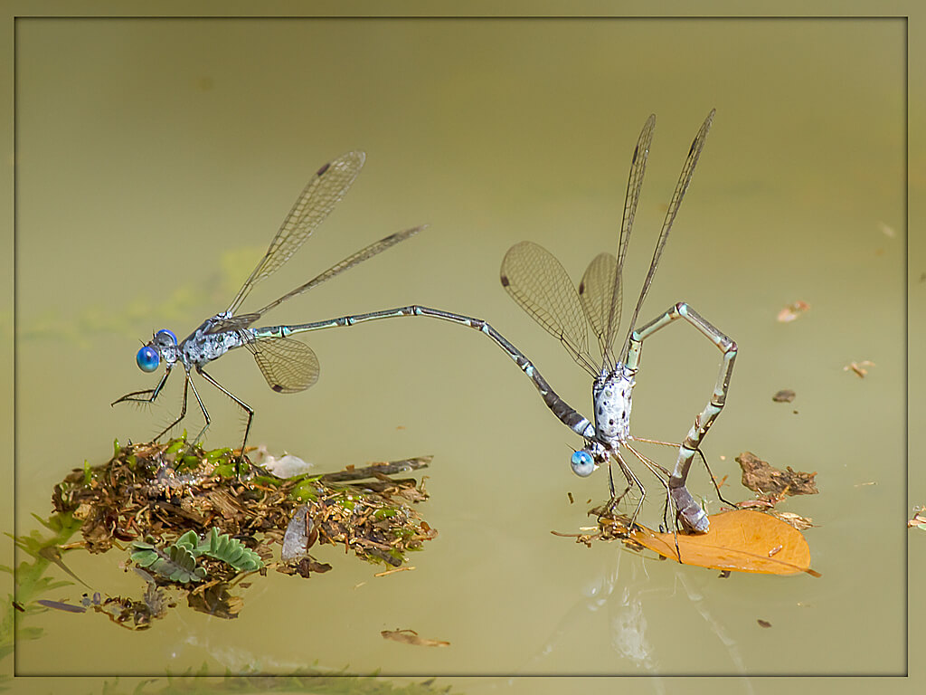 101 061 Lestes tridens Spotted Spreadwing Pair Tshipise LP March 2014 1