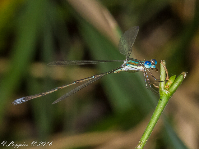 100 011 Lestes virgatus Smokey Spreadwing Male Kimiad Pretoria GP RSA Oct 2015 r 9