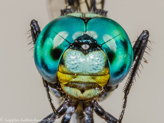 Notiothemis jonesi Eastern Forestwatcher Male Close up Songimvelo MPRSAFebr 2019