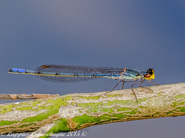 100 437 Pseudagrion citricola Yellow faced Sprite Old Male Bronkhorstspruit GP RSA Sept 2015r 6