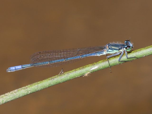 105 007 Pseudagrion draconis Mountain Sprite