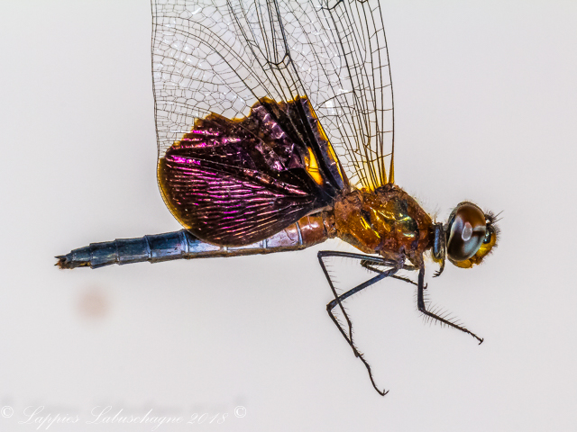 100 2994 Rhyothemis semihalina Phantom Flutterer Female Close up RdW LP RSA Nov 2018r 2