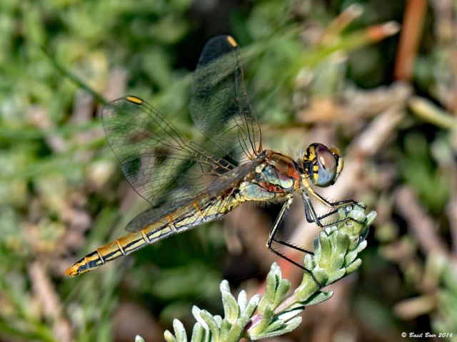108 539 Sympetrum fonscolombii Nomad Female Somerset West WCP RSA Aug 2016