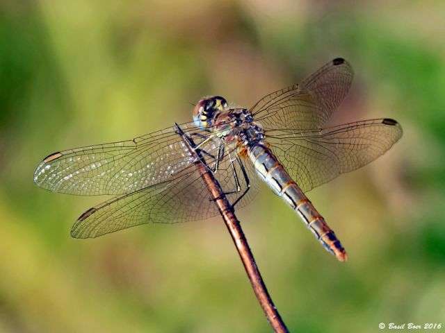 117 527 Sympetrum fonscolombii Nomad