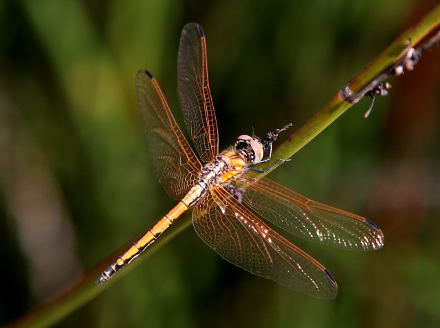 117 529 Trithemis arteriosa Red veined Dropwing