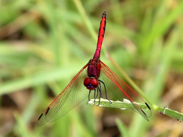 117 532 Trithemis arteriosa Red veined Dropwing