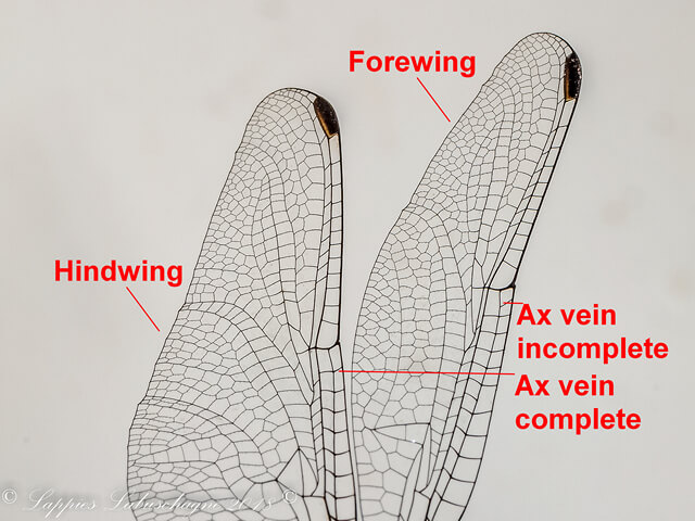 Annotated Images of complete and incomplete Ax veins Ax Navy Dropwing