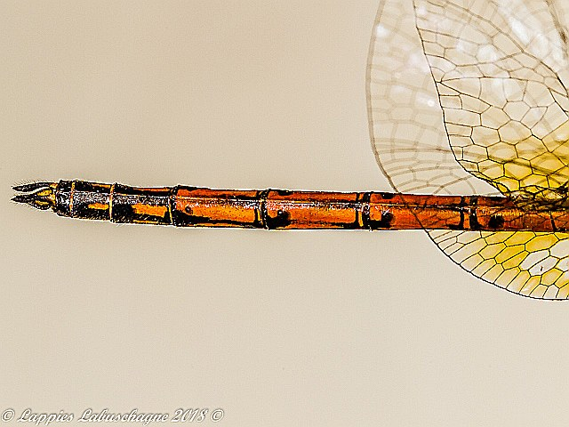 100 2155 Trithemis wernerii Elegant Dropwing Male Close up Ndumo KZN RSA Mch 2018r 22