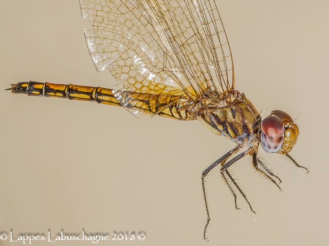100 1622 Trithemis wernerii Elegant Dropwing Female Close up Ndumu Mch 2018r 1