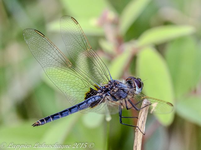 100 1034 Urothemis edwardsii Blue Basker Male Tzaneen Nov 2016r 1