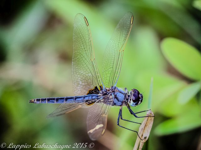 100 1037 Urothemis edwardsii Blue Basker Male Tzaneen Nov 2016r 4