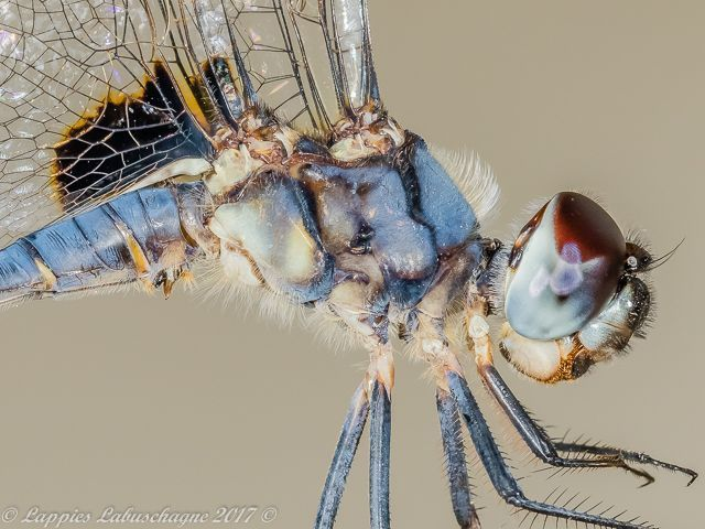 100 2074 Urothemis edwardsii Blue Basker Close up Male Hertzogberg MP Nov 2017r 3